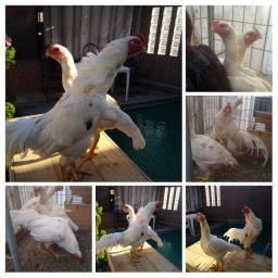 6 ovos de aves exóticas e galinhas  Asiáticas