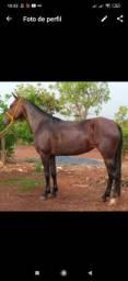Égua registrada manga larga Machador