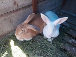 Coelhas Gigantes