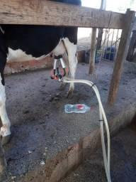 vaca  de  primeira  cria  bizerro  novo no  pe