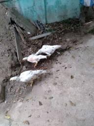 Seis galinhas e um galo top Saudáveis
