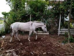 Égua crioula