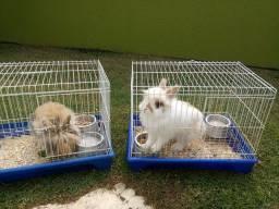 Mini coelhos casal