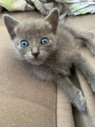 Filhote Gato Russian Blue