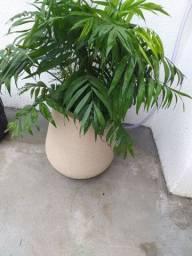 Linda palmeira natural.