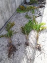 Mudas de palmeiras