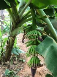 Muda de banana Prata (Pacovan), Nanicão e outras variedades.
