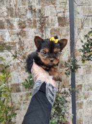 Yorkshire terrier lindos filhotinhos