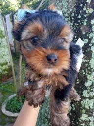 YorkShire Terrier com Pedigre e Microchip e microchip