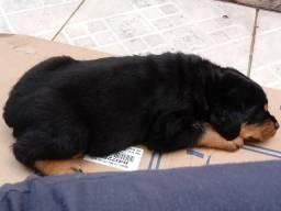 Rottweiler o preço Dita Qualidade