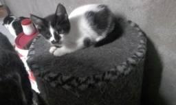 Doacao de gatinho macho castrado