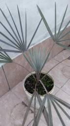Palmeira Bismark azul com 1 metro
