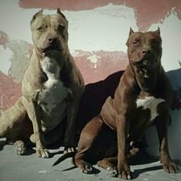 Filhotes de American Pit Bull terrier Red Nose