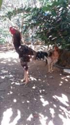 Ovos Galinha Raça Índio Gigante