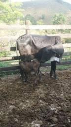 04 Vacas paridas 1 cria com bezerros de Boi Po Heringer.