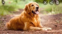 Procuro adoção de Filhote de Labrador!