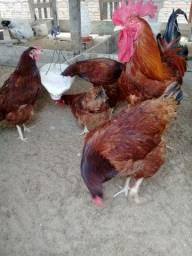 Vende quatro galinha e um galo