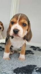 Lindos Filhotes de Beagle a pronta entrega com Garantia
