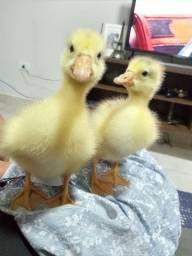 Filhotes de ganso