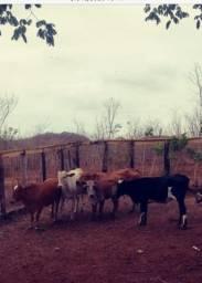 05 Vacas Mestiças