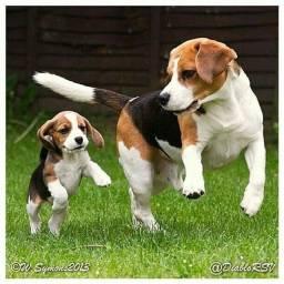 Beagle, Lindos Filhotes com Pedigree!!
