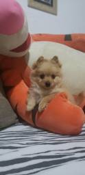 Macho De  Chihuahua Pelo Longo