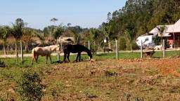 Égua crioula registrada
