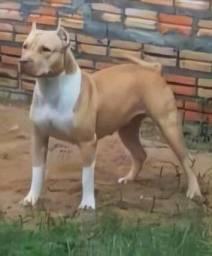 Filhote FÊMEA pitbull disponível