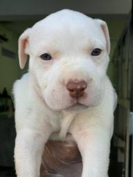 Pitbull, linda linhagem!