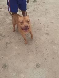 Cachorro macho raça pitbull