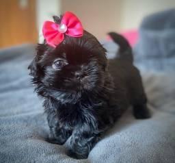 Fêmea mini Shihtzu  BLACK  SÓLID