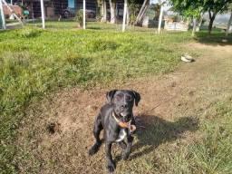 Estou doando este cão raça cane corse um ano e meio a idade motivo mudança.