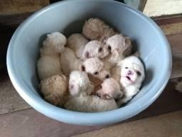 Poodle lindos filhotes disponível pra reserva