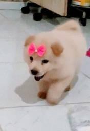 Chow-chow filhote para presentear no Dia dos Namorados.