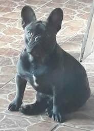 Bulldog Francês procura namorada!!