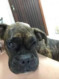 Boxer Femea 9 meses