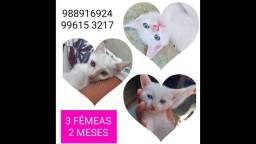Adoção de lindas gatinhas branquinhas 2 meses carinhosas!!
