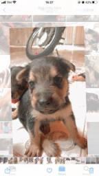 Vendo filhote pastor alemão com rottweiler