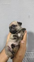 1 filhote Pug macho