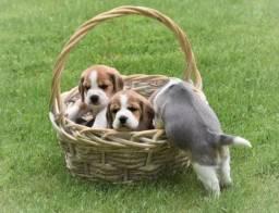 Beagle mini, a pronta entrega *