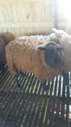 Vendo ovelha 650