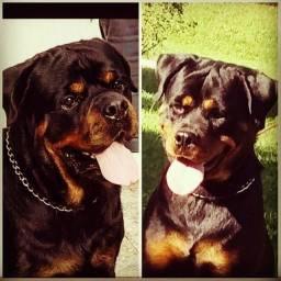 Lindos filhotes Rottweiler à venda com pedigree cbkc