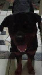 Vende-se Rottweiler macho 8 meses
