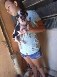 Chihuahua macho 10 meses
