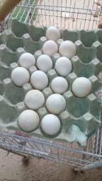 Ovos de marrecos