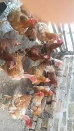 Vendo galinhas caipira
