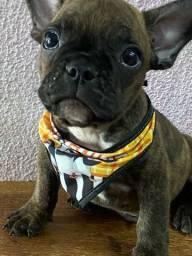 Lindo macho filhote Bulldog francês 950 a vista
