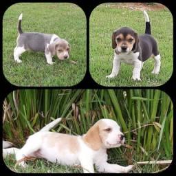 Filhote de beagle