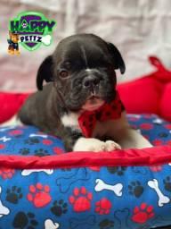 Bulldog francês macho com vacina inclusa