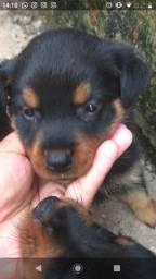 Filhotes de Rottweiler disponíveis